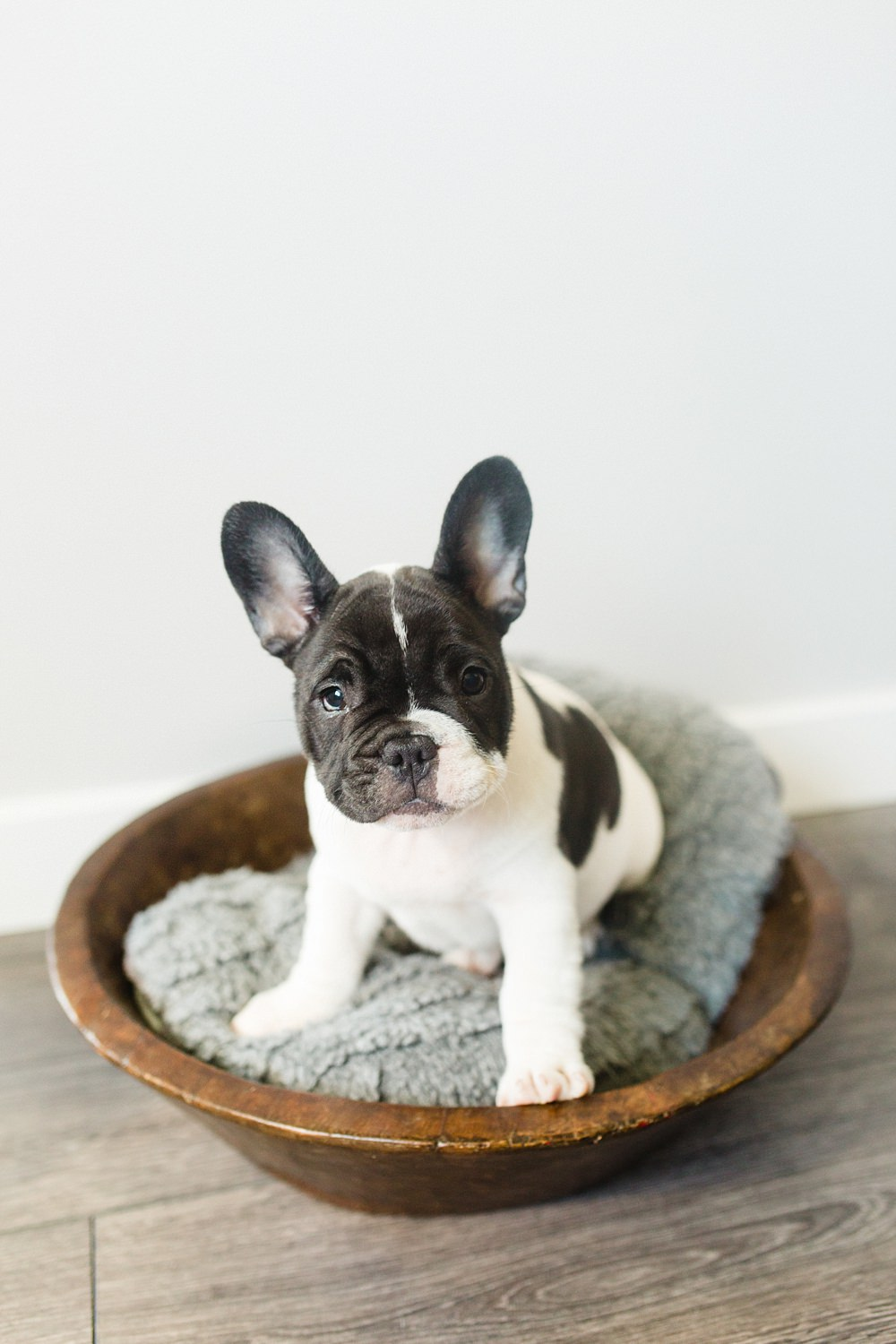 The Gibsons,french bulldogs,frenchies,pet photographer glasgow,pet photography glasgow,